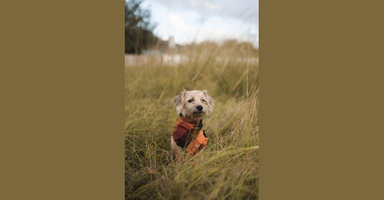 Photo of Pippa, a Miniature Schnauzer, Dachshund, Chihuahua, Pekingese, and Mixed mix in Jacksonville, Florida, USA