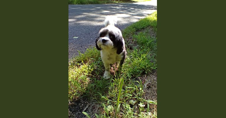 Photo of Dash, a Cavalier King Charles Spaniel and Maltese mix in Narvon, PA, USA