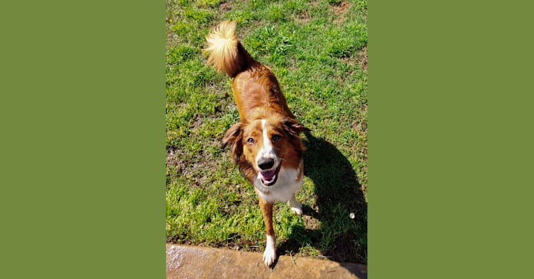 Photo of Juniper, an English Shepherd  in Williamsport, IN, USA