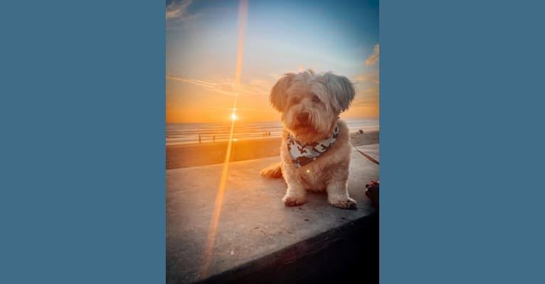 Photo of Mr. Simi, an American Eskimo Dog, Poodle (Small), Chihuahua, Pomeranian, and Mixed mix in Tijuana, Baja California, Mexico
