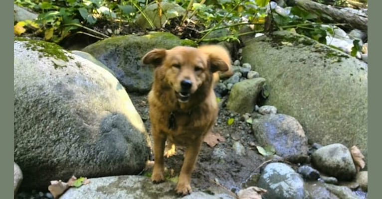 Photo of Sunny, a Chow Chow, Australian Cattle Dog, and Mixed mix in Vancouver, British Columbia, Canada
