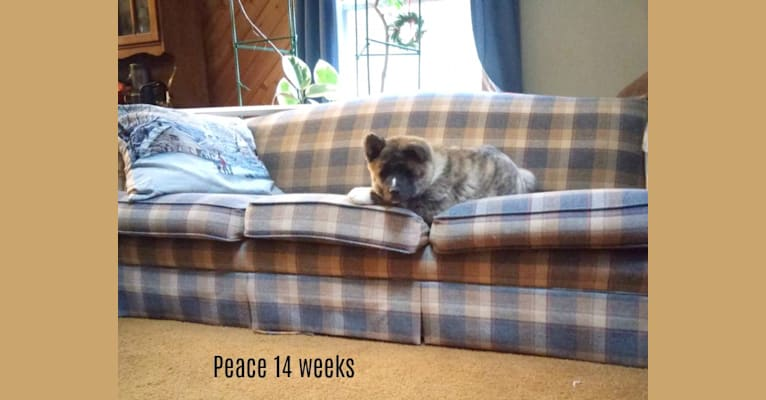 Photo of Peace, an Akita  in Westernport, MD, USA