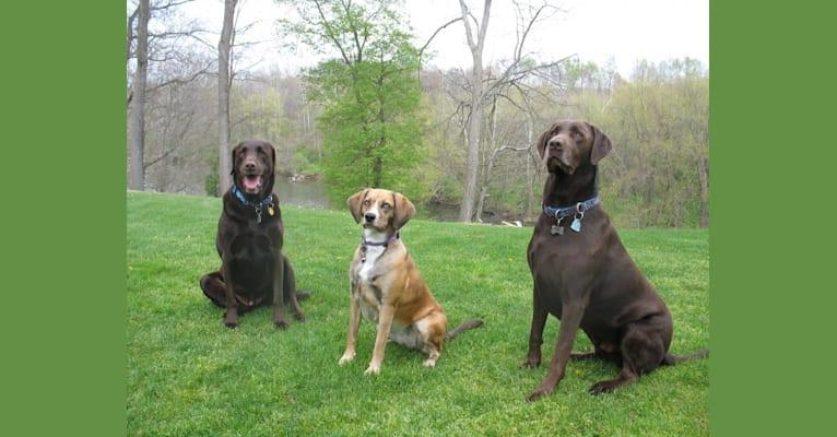 Photo of Reba, a Labrador Retriever, Cocker Spaniel, and Mixed mix in Meadville, Pennsylvania, USA