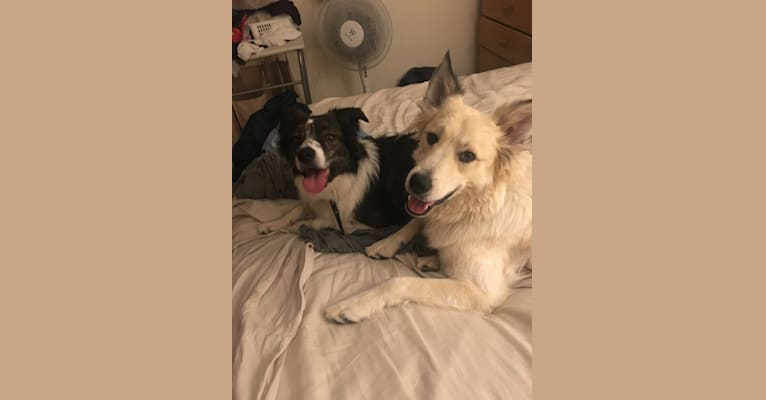 Photo of Loki, a Great Pyrenees and Australian Cattle Dog mix in California, USA