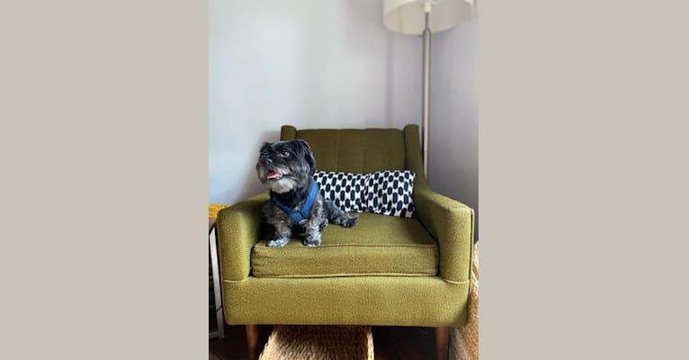 Photo of Monty, a Shih Tzu, Maltese, and Pomeranian mix in South Carolina, USA