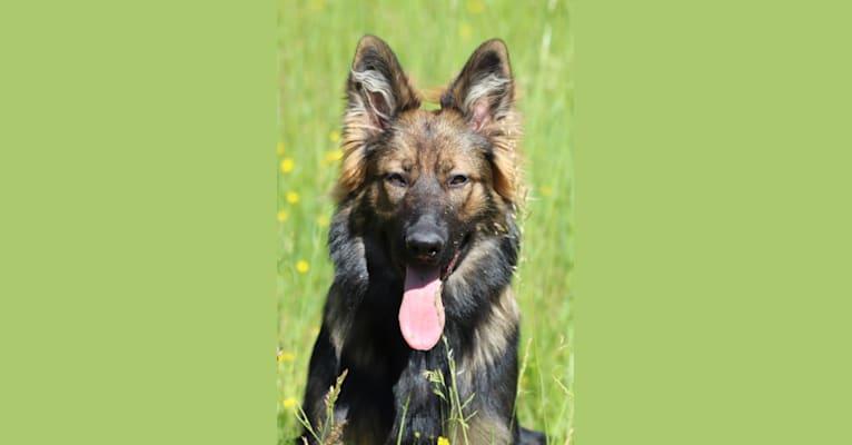 Photo of Païann Heilung des AS de Jacques Coeur, a German Shepherd Dog