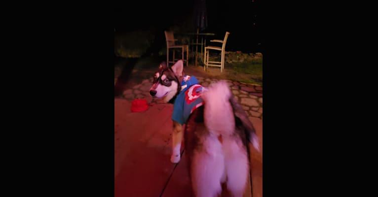 Photo of Toby Luv Caban, a Siberian Husky and Pomeranian mix in Pennsylvania, USA
