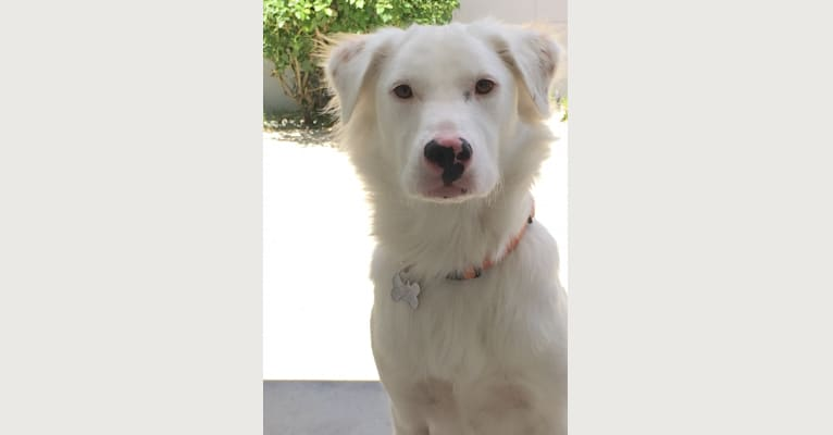 Photo of Bailey, a Soft Coated Wheaten Terrier, Chow Chow, Australian Shepherd, and American Pit Bull Terrier mix in San Jacinto, California, USA