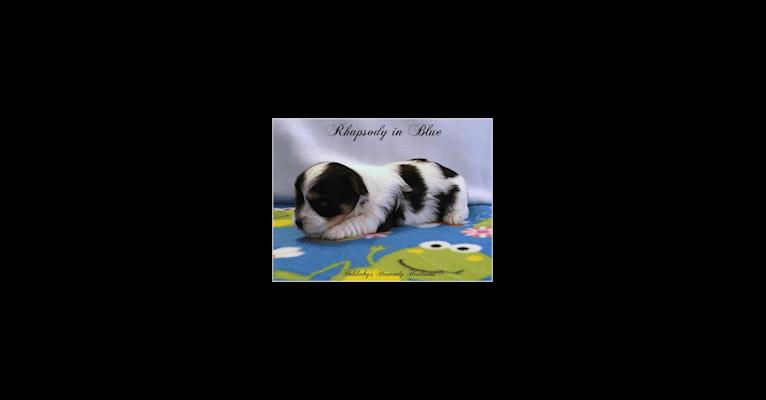 Photo of Bella, a Biewer Terrier  in 23452 Manjo Ln, Springdale, AR, USA