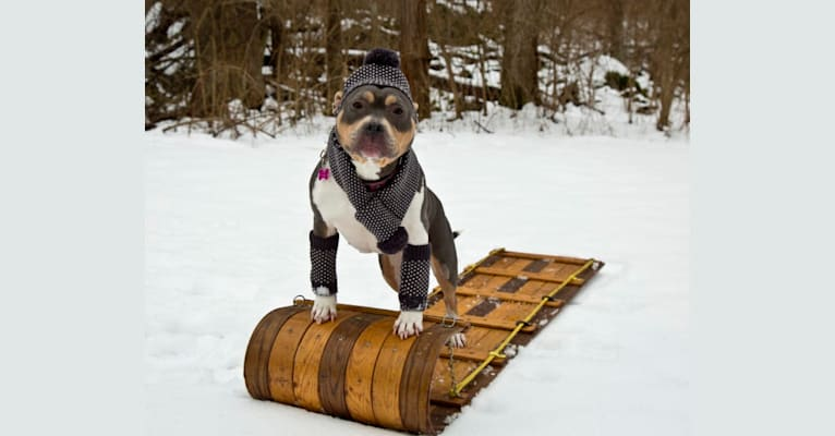 Photo of Letty von Wigglebottom, an American Bully, American Pit Bull Terrier, and American Staffordshire Terrier mix in Clear Brook, Virginia, USA