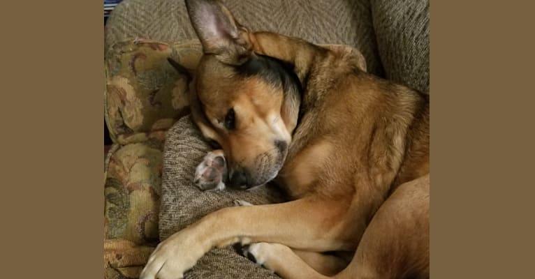 Photo of Shadow, a Pomeranian and American Bulldog mix in Grand Rapids, Michigan, USA
