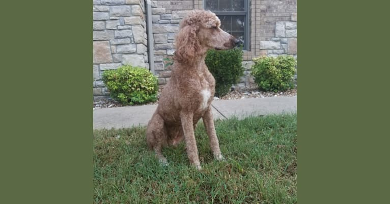 Photo of Rouge, a Poodle (Standard)  in Nixa, Missouri, USA