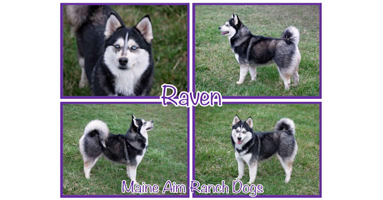 Photo of Raven, a Pomsky