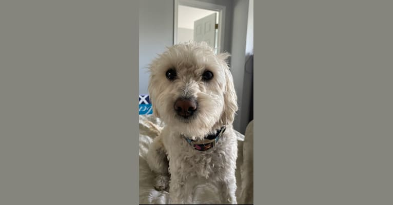 Photo of Lacey, a Poodle (Small) and Mixed mix in California, USA