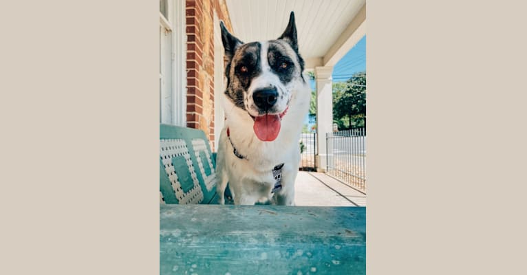 Photo of Iso, a Siberian Husky, Australian Cattle Dog, and Bulldog mix in Birmingham, Alabama, USA