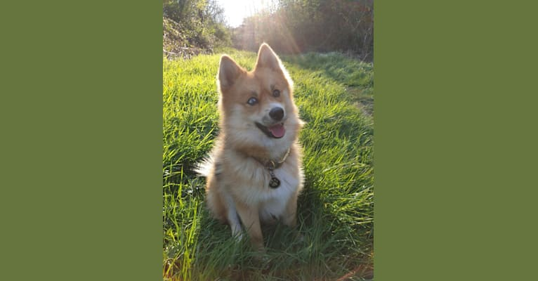 Photo of Goku, a Pomsky  in Gripport, France