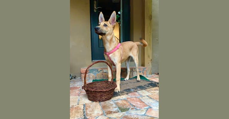 Photo of Snoopina, a Carolina Dog  in Vallejo, CA, USA
