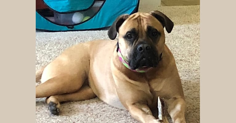 Photo of Coco, a Bullmastiff  in Fairless Hills, Pennsylvania, USA
