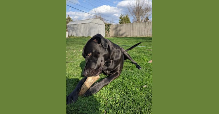 Photo of Pippin, an American Pit Bull Terrier, Treeing Walker Coonhound, Labrador Retriever, and American Staffordshire Terrier mix in South Bend, Indiana, USA