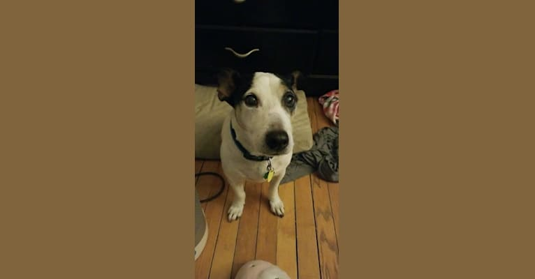 Photo of Oliver, a Russell-type Terrier mix in Chicago, Illinois, USA