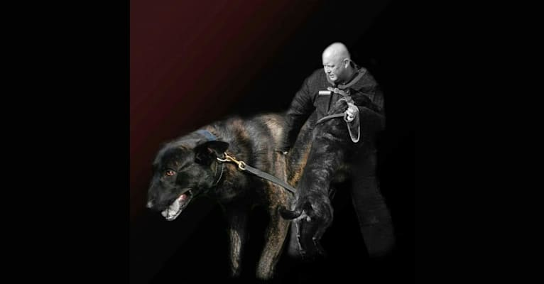 Photo of Dio, a Dutch Shepherd  in Nederland