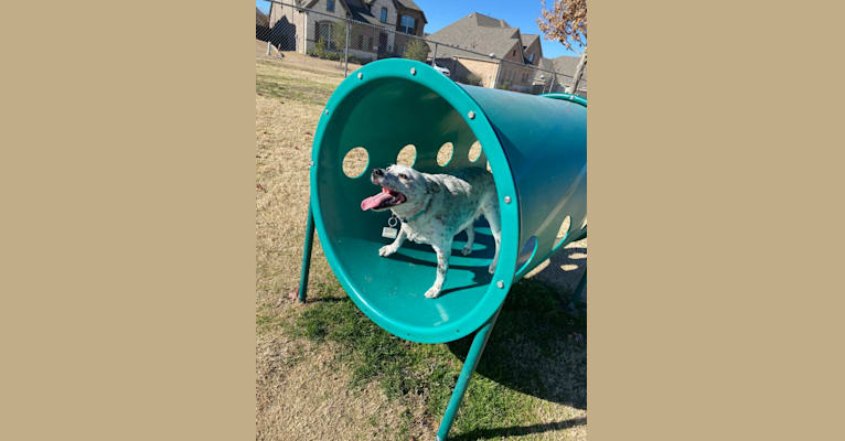 Photo of Layla Shreves, an Australian Cattle Dog and Australian Shepherd mix in Roanoke, Texas, USA