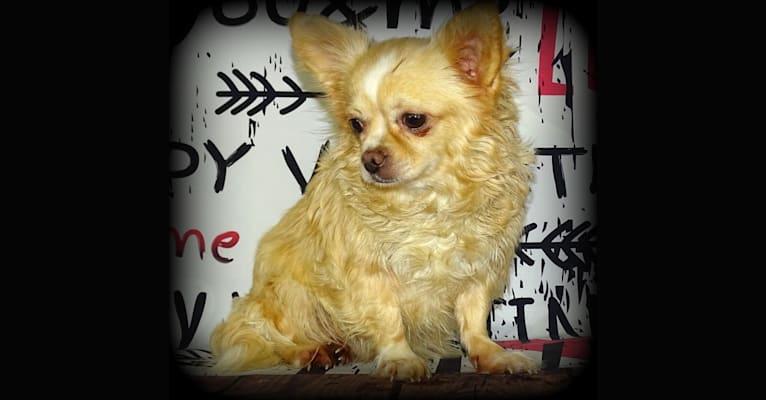 Photo of Nougat, a Chihuahua