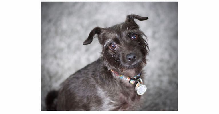 Photo of Trico, a Poodle (Small), Miniature Pinscher, Pug, and Yorkshire Terrier mix in West Virginia, USA