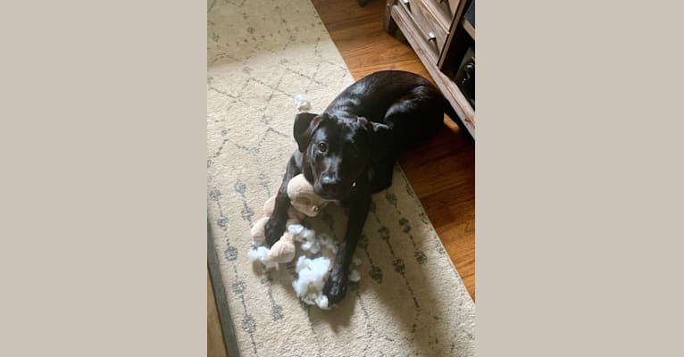 Photo of Buddy, a Labrador Retriever and American Pit Bull Terrier mix in Auburn, AL, USA