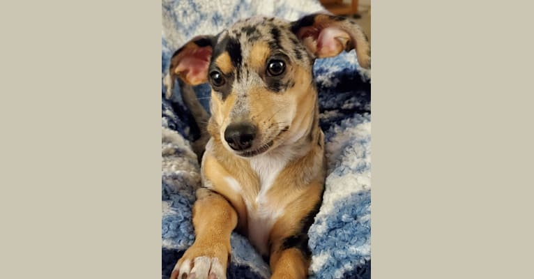 Photo of Penny, a Chihuahua, Dachshund, Miniature Pinscher, and Russell-type Terrier mix in Mississippi, USA