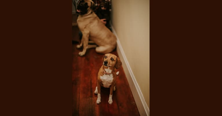 Photo of Zoey, a Beagle and American Pit Bull Terrier mix