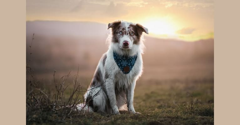 Photo of Spurs N Ashes, a Border Collie  in Bellefonte, PA, USA