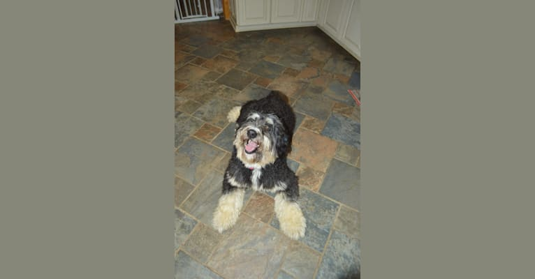 Photo of Ruthy, a Bernedoodle  in Middlebourne, WV, USA