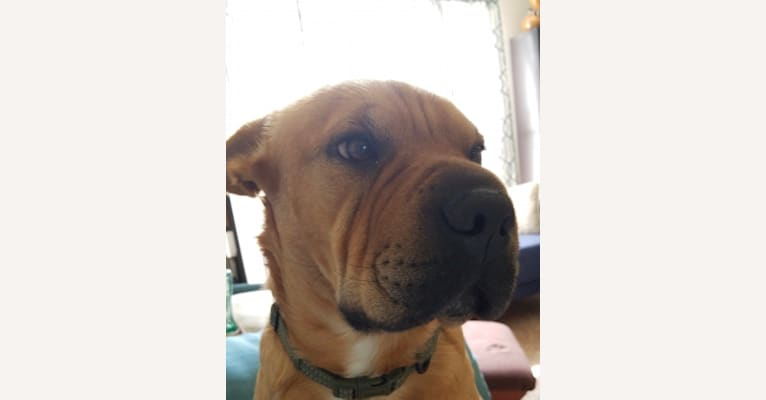 Photo of Trooper, an American Pit Bull Terrier, Boxer, Chinese Shar-Pei, Golden Retriever, Rottweiler, German Shepherd Dog, and Mixed mix in Crystal City, Missouri, USA
