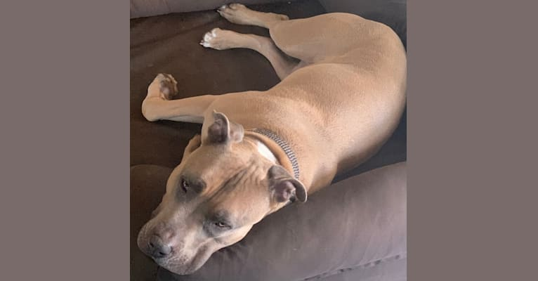 Photo of Maverick, an American Pit Bull Terrier and American Staffordshire Terrier mix in Levittown, Pennsylvania, USA