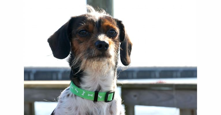 Photo of Roscoe, a Dachshund and Shih Tzu mix in Houston, Texas, USA