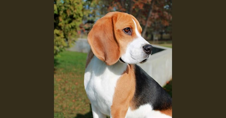 Photo of Catcher, a Beagle  in Innisfail, AB, Canada