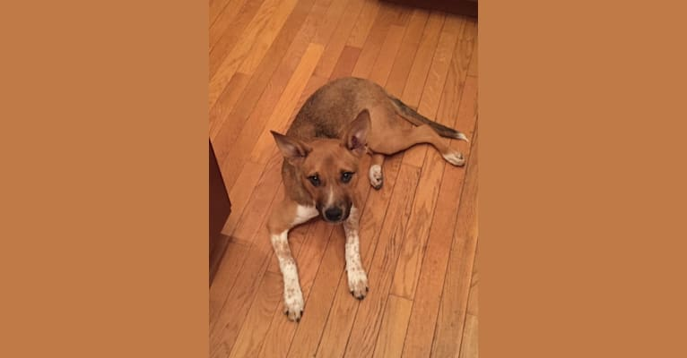 Photo of Finley, an Australian Cattle Dog, American Pit Bull Terrier, and American Staffordshire Terrier mix in Alexandria, Virginia, USA