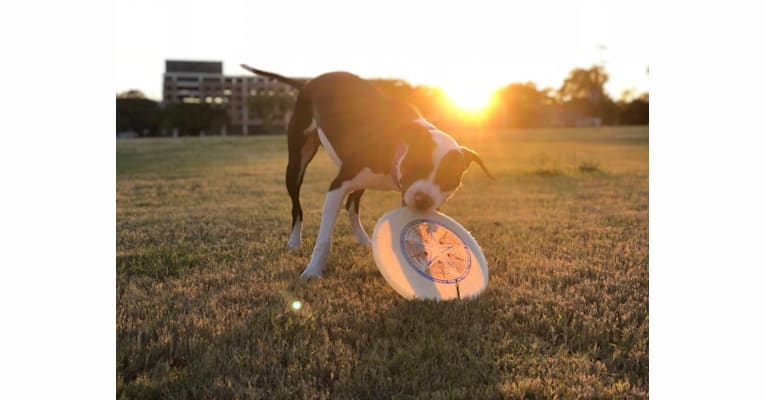 Photo of Roscoe, an American Pit Bull Terrier and American Staffordshire Terrier mix in Lewisville, Texas, USA