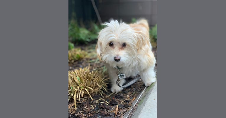 Photo of Lola, a Poodle (Small), Chihuahua, Pekingese, and Mixed mix in Tijuana, Baja California, Mexico