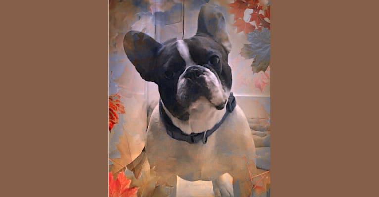 Photo of Mordecai Von Bruno, a French Bulldog