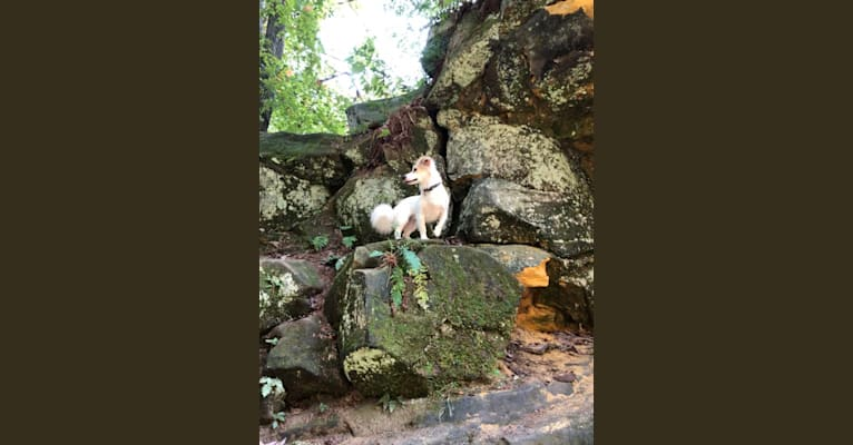 Photo of Daisy Mae, a Chihuahua, Australian Shepherd, Mountain Cur, Russell-type Terrier, and Boxer mix in Jacksonburg, West Virginia, USA