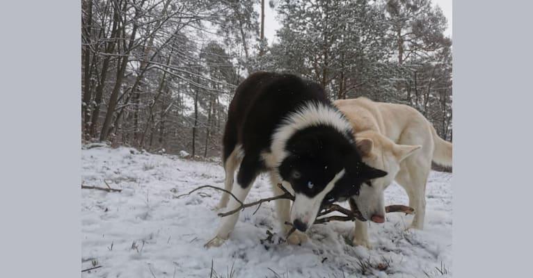 Photo of Erkeeni Kuo (Kinjia), a Yakutian Laika  in Yakutsk, Russland