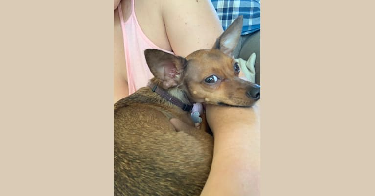 Photo of Milo, a Chihuahua, Miniature Pinscher, Dachshund, and Mixed mix