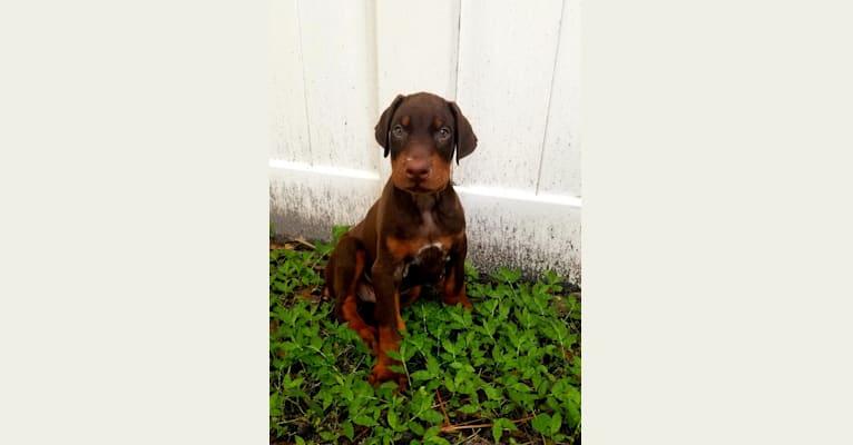 Photo of Reddix, a Doberman Pinscher  in Riverview, Florida, USA