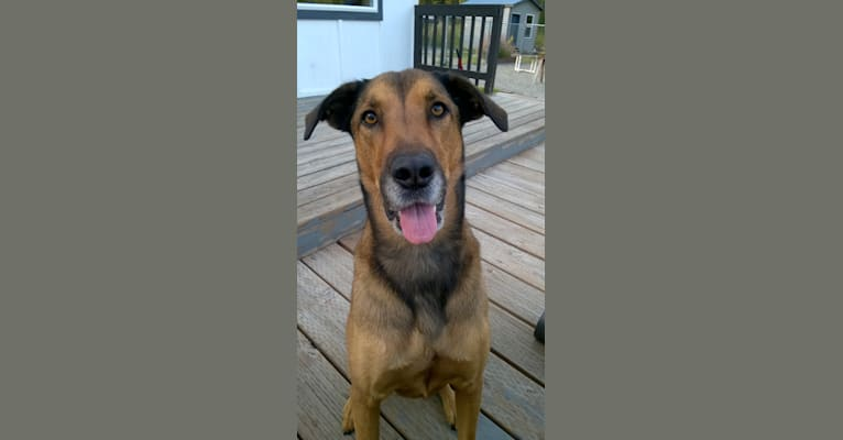 Photo of Opie, a Belgian Malinois, Labrador Retriever, Bluetick Coonhound, and Mixed mix in Alaska, USA