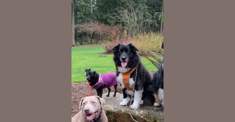 Photo of Joey, a Border Collie, German Shepherd Dog, and Chow Chow mix in Yakima, WA, USA