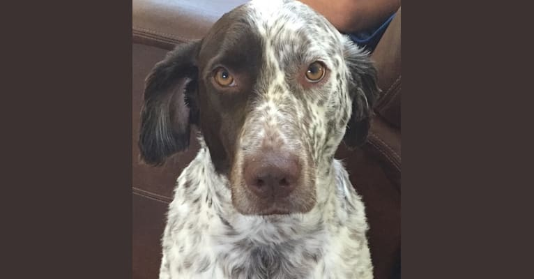 Photo of Patches, an English Springer Spaniel and Australian Cattle Dog mix in San Antonio, Texas, USA