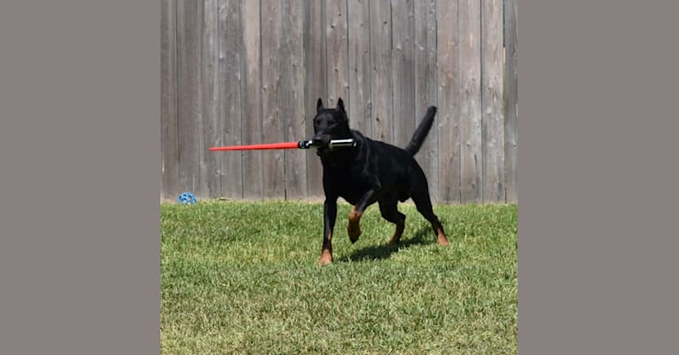Photo of Vader, a Beauceron  in Crystal, ME, USA