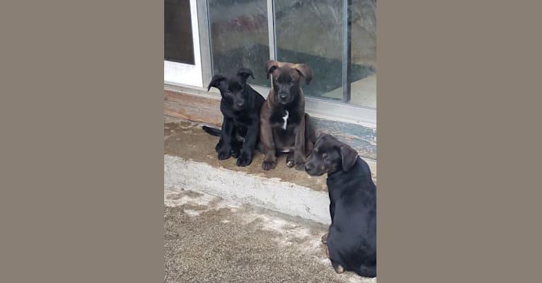Photo of Okudo Michi, an American Pit Bull Terrier, Border Collie, Alaskan Malamute, and Australian Shepherd mix in Snohomish, Washington, USA